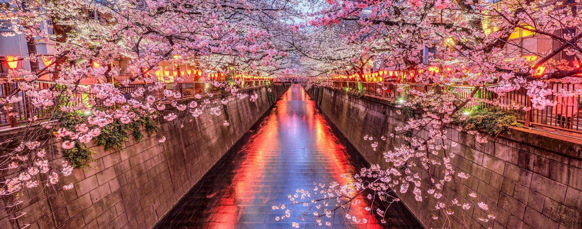 Picture of cherry blossoms along a river in Japan.